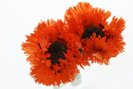 oriental poppy: Oriental poppies, papaver orientale, against white background
