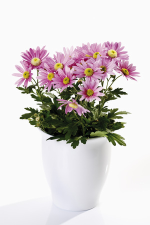 flower pot: Pink chrysanthemum in flower pot on white background Stock Photo