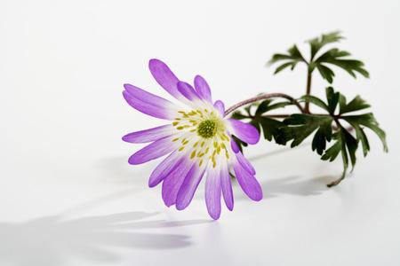 windflower: Greek windflower on white background