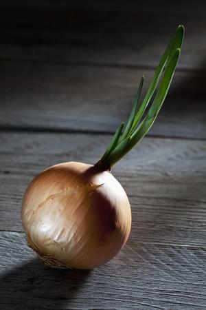germinating: Germinating onion on wood