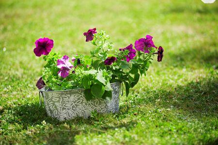 petunias: Purple petunias on grass