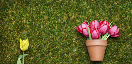 flowerpot: Tulips on grass, flowerpot and yellow tulip isolated, copy space
