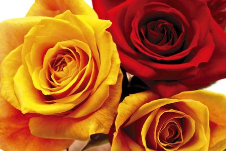 rosas rojas: Las rosas amarillas y rojas, de cerca