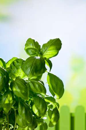 kulinarne: Kulinaria zioła, bazylia, miejsca kopiowania Zdjęcie Seryjne