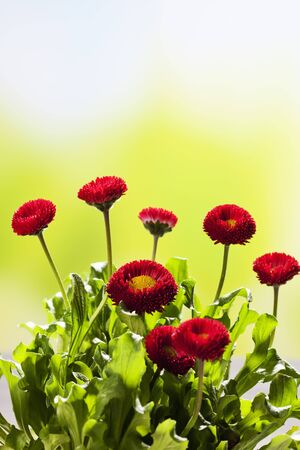 ��copy space �: Red daisies, copy space