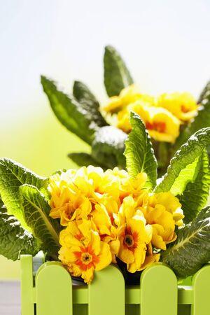 copy space: Yellow primroses, copy space
