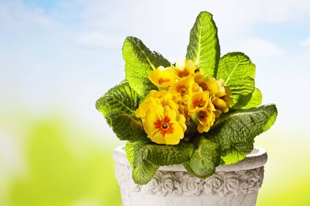 ��copy space �: Yellow primroses, copy space