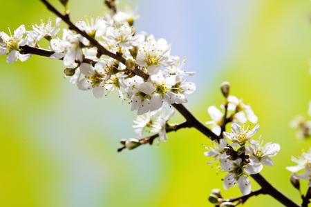laevigata: Hawthorn twig with white flowers, Crataegus laevigata