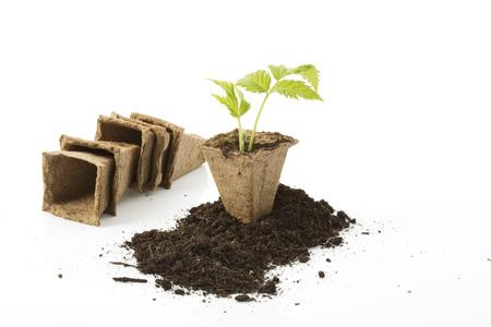 turba: Planta de fresa, el suelo, macetas de turba en el fondo blanco