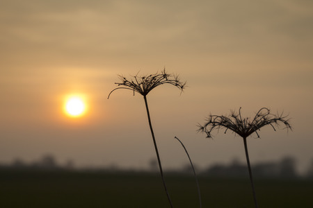 Silhouette of dry grasses against sunset sky Stock Photo