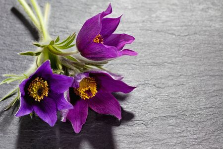pasque: Pasque flowers on slate Stock Photo