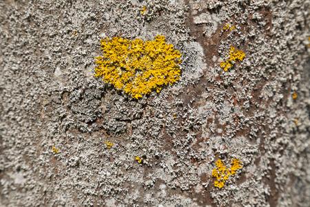 lichen: Lichen on tree bark
