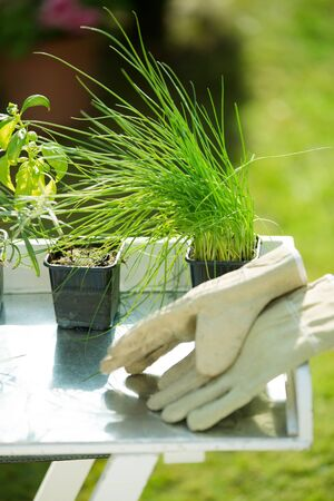 gardening gloves: Potted chives and basil with gardening gloves