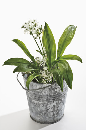 plant in pot: Ramson in plant pot, flowers
