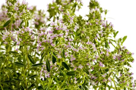 thyme: Thyme, blossoms Stock Photo