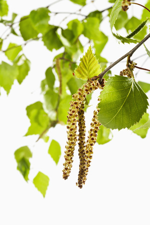 birch tree: Birch tree, twig, leaves and pollen Stock Photo