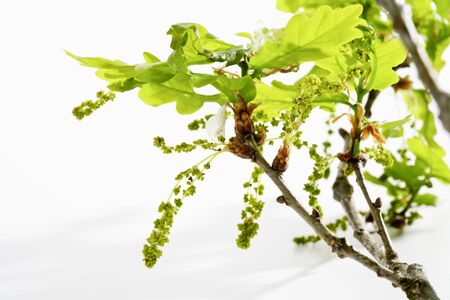 Oak tree, twig, leaves and pollen photo