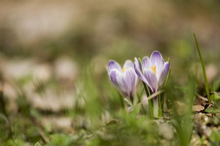crocus: Crocus flower (Crocus albiflorus) Stock Photo