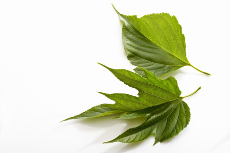 mulberry: Mulberry leaves