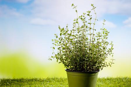 plant in pot: Oregano in plant pot