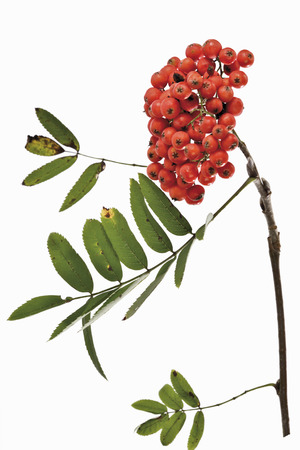 rowan tree: Rowanberry, twig of rowan tree Stock Photo