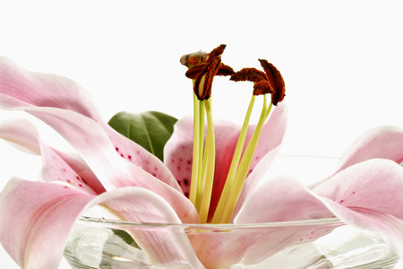 tiger lily: Tiger lily, flower in a bowl