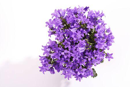 bellflower: Bellflower, blossoms