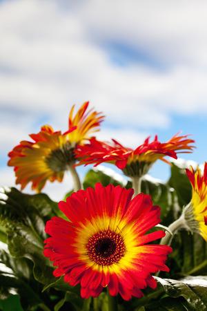 copy  space: Gerbera blossoms, copy space Stock Photo