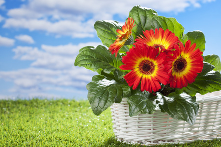 bast basket: Flower pot with gerbera in white bast basket on grass