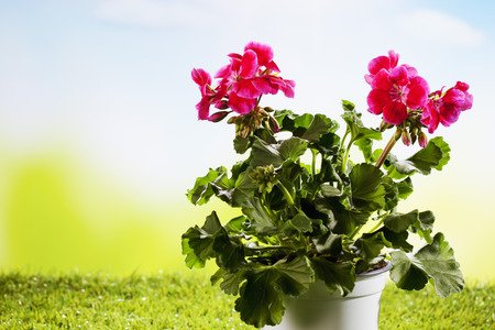 flowerpot: Flowerpot with geranium on grass