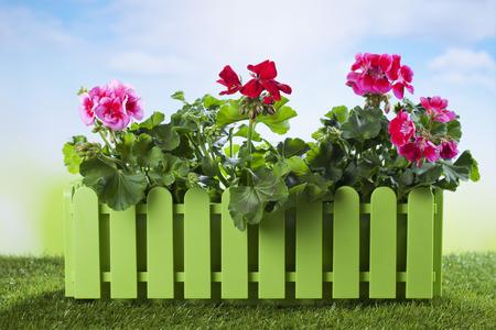 flower box: Flower box with geranium on grass Stock Photo