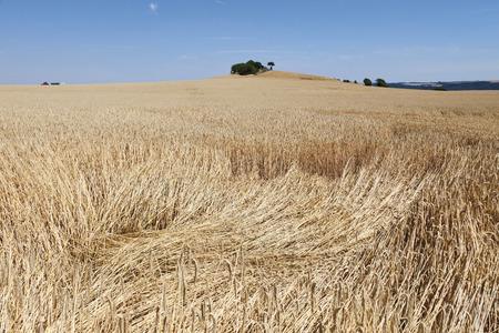 champ de mais: Allemagne, Rhénanie du Nord-Westphalie, Vue de champ de maïs Banque d'images