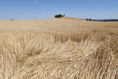 cornfield: Germany, North Rhine-Westphalia, View of cornfield