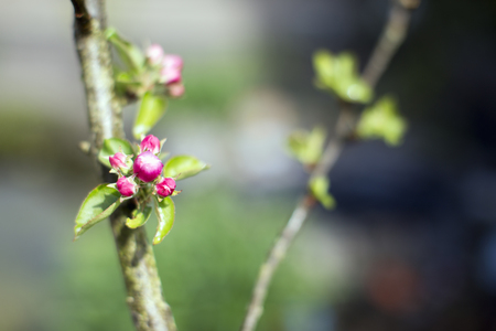 awakening: Apple blossoms on twig, spring awakening, Netherlands