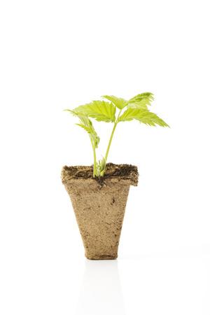 turba: planta de frambuesa en crisol de la turba