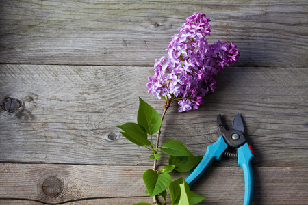 clipper: Lilac and gardening clipper on wood