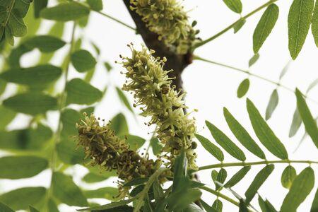 differential focus: Blossoms of honey locust, close up Stock Photo