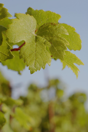 whine: Whine leaves, close-up
