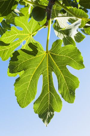 fig leaf: Fig leaf, blue sky