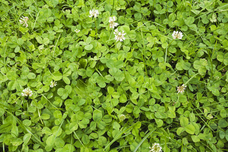 cloverleaves: Nature, meadow with clover
