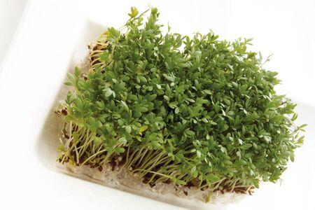 cress: Garden cress (Lepidium sativum)