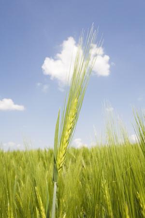 secale: Germany, rye field, spike