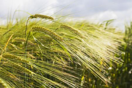 secale: Germany, rye field, ripe spikes
