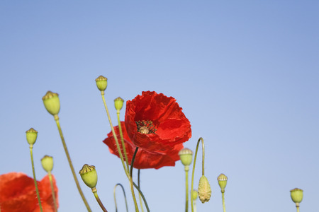 ��copy space �: Germany, Poppies, blue sky, copy space Stock Photo