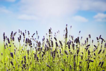 medical  plant: Lavender, medical plant
