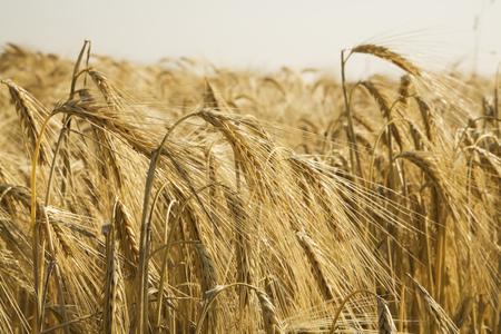 secale: Germany, Rye field, ripe, rye
