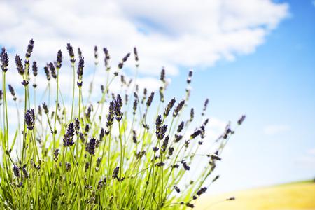medical  plant: Lavanda, planta medicinal