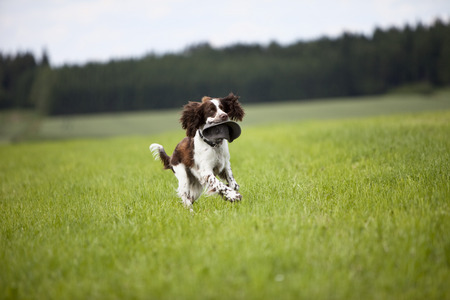 springer spaniel: View of English Springer Spaniel running in grass field Stock Photo
