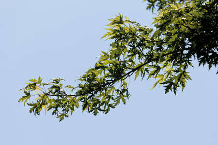 silver maple: Germany,View of silver maple,close up Stock Photo