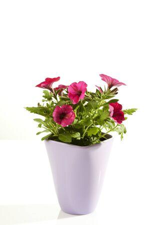 flowerpot: Petunia in flowerpot